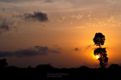 As the sun sets ... (Anuradha Nautiyal) Tags: sunset tree hues sky cricketworldcup2019 silhouette lonelytree sirsi nikon nikond90 karnataka india