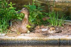 Mother watching for asleep duckling. (Azariel01) Tags: 2019 belgique belgium planckendael canard duck duckling caneton oiseau bird endormi asleep mother maman protège protect