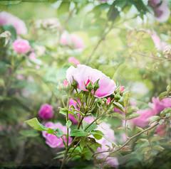 Lovely Rose (judy dean) Tags: judydean 2019 rose texture flowers pink