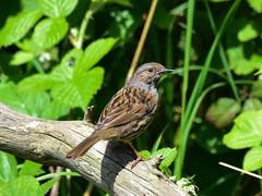 Dunnock F00748 Burton Mere RSPB D210bob DSC_8155 (D210bob) Tags: dunnock f00748 burtonmererspb d210bob dsc8155 nikond7200 birdphotography birdphotos naturephotography naturephotos nikon wildlifephotography nikon200500f56 cheshire rspb