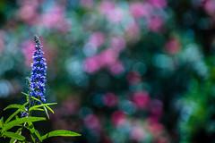 Summer Bubbles (NathalieSt) Tags: europe france hérault lagrandemotte languedocroussillon occitanie fleur fleurs flower flowers herb herbe herbes nature nikon nikond5500 nikonpassion nikonphotography