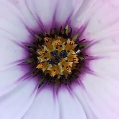 Daisy heart (daveandlyn1) Tags: flower daisy petals lovelycolours pistil mauve purple pralx1 huaweip8 p8lite2017 smartphone psdigitalcamera cameraphone
