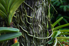 Rooted & Groovy (shapeshift) Tags: d5600 asia bokeh botanicalgarden davidpham davidphamsf dome flowers garden grooves nikon orchidgarden orchids plants roots shapeshift shapeshiftphotography singapore vegetation centralregion