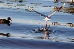 Ducks vs. Seagulls (JaaniicB) Tags: canon 77d eos tamron 70300mm latvija jūrmala latvia priedaine seagull duck water splash evening dusk birds bird reflection weeds flying fly takeoff