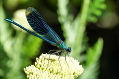 Gebänderte Prachtlibelle / Calopteryx splendens (Bernd Götz) Tags: libelle dragonfly prachtlibelle gebänderteprachtlibelle calopteryxsplendens