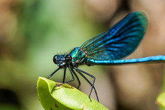 Gebänderte Prachtlibelle / Calopteryx splendens (Bernd Götz) Tags: libelle calopteryx splendens calopteryxsplendens dragonfly gebänderteprachtlibelle