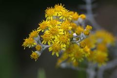 Esserino (lincerosso) Tags: fiori flowers seneciomaritimus asteraceae insetti ortotteri bellezza armonia giardino