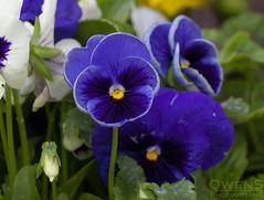 Royal Blue Pansy (OwenSPhotography) Tags: flower flowers floral blue garden leaf leaves photo photography petal petals bury lancashire england
