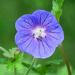 Geranium in Keith Logan's garden (annkelliott) Tags: flower garden filteraddedinpostprocessing geranium purple