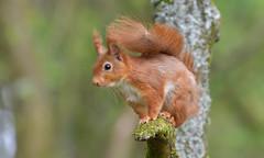 Red Squirrel (KHR Images) Tags: redsquirrel sciurusvulgaris wild mammal rodent dumfriesandgalloway scotland scottish wildlife nature nikon d500 kevinrobson khrimages