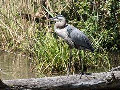 015A7256 Great Blue Heron (suebmtl) Tags: bird birding canada quebec lachinerapidsparklasalle heron greatblueheron ardeaherodias