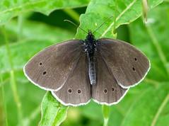 Ringlet F open wings (ericy202) Tags: ringlet butterfly female open wings spot pattern