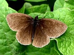 Ringlet M (no spots) 10.7.19 (ericy202) Tags: ringlet butterfly male open wings no spots