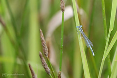damselfly (photos4dreams) Tags: gersprenz münster hessen germany naturschutz nabu naturschutzgebiet photos4dreams p4d photos4dreamz nature river bach flus naherholung canoneos5dmark3 canoneos5dmarkiii