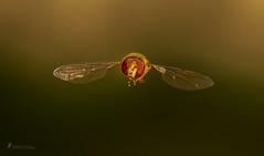 Schwebefliege , Auge in Auge (normen.nikon) Tags: d500 nikon sigma macro 105mm wildlife insekten fliege natur tiere
