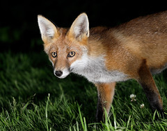 Fox Vulpes vulpes (Iain Leach) Tags: birdphotography wildlifephotography photograph image wildlife nature iainhleach wwwiainleachphotographycom canon canoncameras photography canon1dxmk2 canon5dmk4 beauty beautiful beautyinnature macro macrophotography closeup fox vulpesvulpes