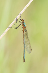 Lestes sponsa (Emerald Damselfly) immature female - Lestidae - Yarwell Quarry, Yarwell, Peterborough, UK (Nature21290) Tags: commonspreadwing emeralddamselfly june2019 lestes lestessponsa lestidae odonata peterborough uk yarwellquarry insect