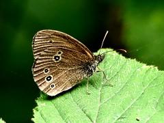 Ringlet underside 10.7.19 (ericy202) Tags: underside ringlet butterfly