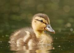 Duckling (PhotoLoonie) Tags: duckling mallard duck waterbird wildlife nature