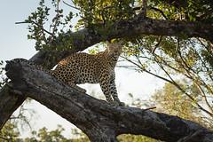 Diva (He Ro.) Tags: 2018 africa afrika botswana kanana kananaconcession okavangodelta southernafrica femaleleopard leopard pantherapardus tree safari animal wilderness ngc npc coth coth5