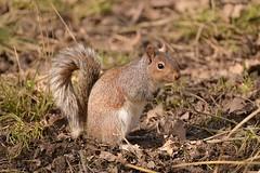 Grey Squirrel (Sciurus carolinensis) (Pete Rodgers) Tags: forestofdean gloucestershire squrrrel greysquirrel mammal