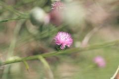 Purity (olivier.ghettem) Tags: paris france jardindesplantes jardin garden fleur fleurs flowers flower purity nature pureté centauréedesalamanque
