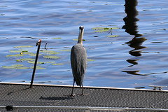 Heron (steve_whitmarsh) Tags: potsdam germany animal nature wildlife birds feathers heron templiner lake water topic
