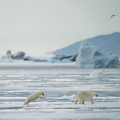Polar bear family (msmedsru) Tags: polar bear arctic drift ice summer cub mother svalbard norway iceberg spitsbergen