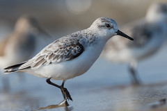 Sanderling (JS_71) Tags: nature wildlife nikon photography outdoor 500mm bird new see natur pose moment outside animal flickr colour poland sunshine beak feather nikkor d500 wildbirds planet global national wing eye watcher