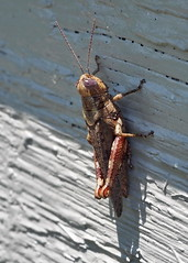 Carolina Locust  (Dissosteira carolina) (Jim Atkins Sr) Tags: locust carolinalocust dissosteiracarolina insect grasshopper fairfieldharbour northcarolina olympus