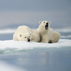 Resting family (msmedsru) Tags: polar bear arctic drift ice summer cub mother svalbard norway spitsbergen