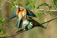DSC_4657 Bienenfresser - Bee eater (Charli 49) Tags: nature naturfotografie fauna tier vogel bienenfresser wildlife kopulation nikon d500 nikkor 200500