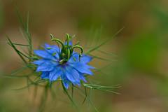 Blue Nigella (pstenzel71) Tags: blumen natur pflanzen jungferimgrünen nigella darktable flower bokeh