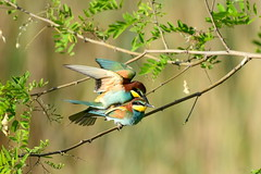 DSC_4655 Bienenfresser - Bee eater (Charli 49) Tags: nature naturfotografie fauna tier vogel bienenfresser wildlife kopulation nikon d500 nikkor 200500