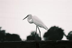 Great Egret black n White (Mary Sweeney-Reeves) Tags: kodakblackandwhitefilm film greategret shorebird coastalgeorgia savannah georgia georgiacoast ocean tybeeislandga nikonf6
