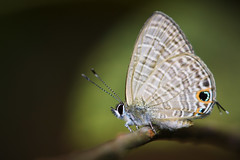 Long-tailed Blue Jul 2019 - 1 (Gomen S) Tags: butterfly insect animal wildlife nature macro 105mmmicro d500 nikon asia tropical 2019 summer morning forest mountain