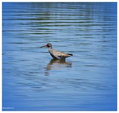 Chevalier gambette. Tringa totanus. (murielle1957) Tags: oiseau bird réserve parc ornithologie eau bassin arcachon teich