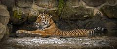 Sayan Wallowing (Jonnyfez) Tags: siberian amur tiger sayan yorkshire wildlife park jonnyfez d750 big cat water waterfall stone relaxing lying