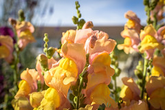 Mum's Garden 10-07-2019 02 (Matt_Rayner) Tags: mumsgarden flower snapdragon