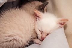 DSC_7708.jpg (CloserLuc) Tags: sleep portrait cute mammal baby little cat kitten animal looking fur pet funny young eye whisker indoors hair