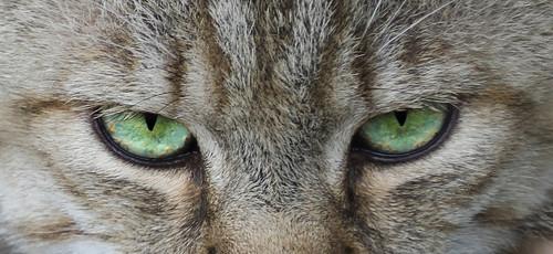 Wildcat eyes