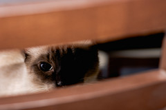 DSC_0555.jpg (CloserLuc) Tags: curiosity portrait domestic little cat kitten animal indoors sit pet funny cute looking eye fur young hair