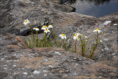 20190527. Finland. Porkkala peninsula. 1964 (Tiina Gill (busy)) Tags: finland outdoor porkkala nature water sea flower flora plant rock