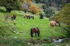 Imperturbables (SantiMB.Photos) Tags: 2blog 2tumblr 2ig lanoudeberguedà catllaràs berguedà otoño autumn prado meadow caballos horses 500px geo:lat=4219403905 geo:lon=192407459 geotagged castelldelareny cataluna españa
