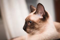 DSC_0531.jpg (CloserLuc) Tags: curiosity portrait domestic little cat kitten animal indoors sit pet funny cute looking eye fur young hair