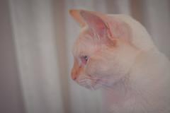 DSC_0561.jpg (CloserLuc) Tags: curiosity portrait domestic little cat kitten animal indoors sit pet funny cute looking eye fur young hair