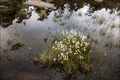 20190527. Finland. Porkkala peninsula. 1919 (Tiina Gill (busy)) Tags: finland outdoor porkkala nature water sea flower flora plant rock
