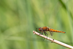 Perching Chaser (oandrews) Tags: 30dayswild canon canon70d canonuk dragonflies dragonfly fauna fen fenland fens fourspottedchaser greatfen insect insects invertebrate invertebrates minibeast minibeasts nature outdoors wildlife wildlifetrusts woodwaltonfen huntingdon england unitedkingdom