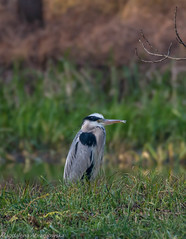 grey heron (madziulka_a) Tags: greyheron poland nikon 200500mm nikkor d800 wildlife bird czapla