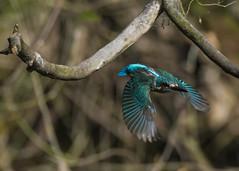 kingfisher (madziulka_a) Tags: kingfisher poland fly bird nikon nikkor d850 200500mm wildlife nature zimorodek